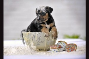 Puppy in cake mix.